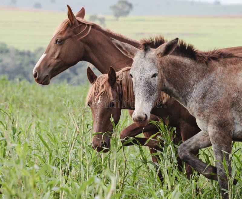 Zwierzęta gospodarskie: Osioł i dwa konia obrazy stock