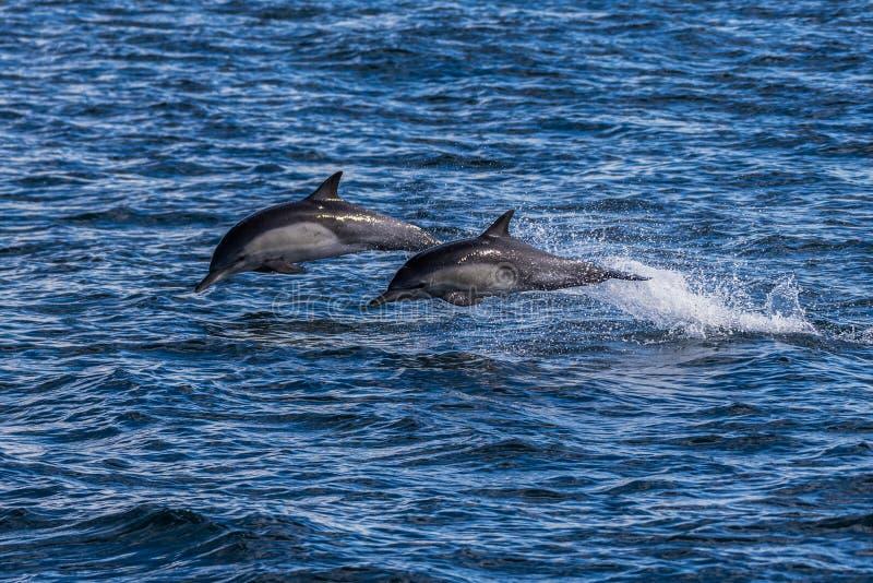 Zwierzęta pływające nad powierzchnią wody obrazy royalty free