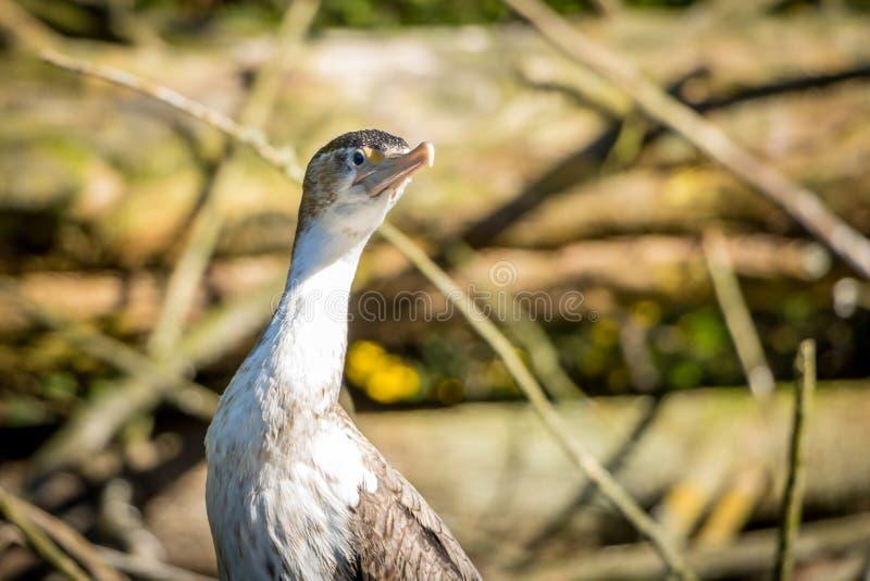 Zwierzęta - Pied kormoran zdjęcie stock