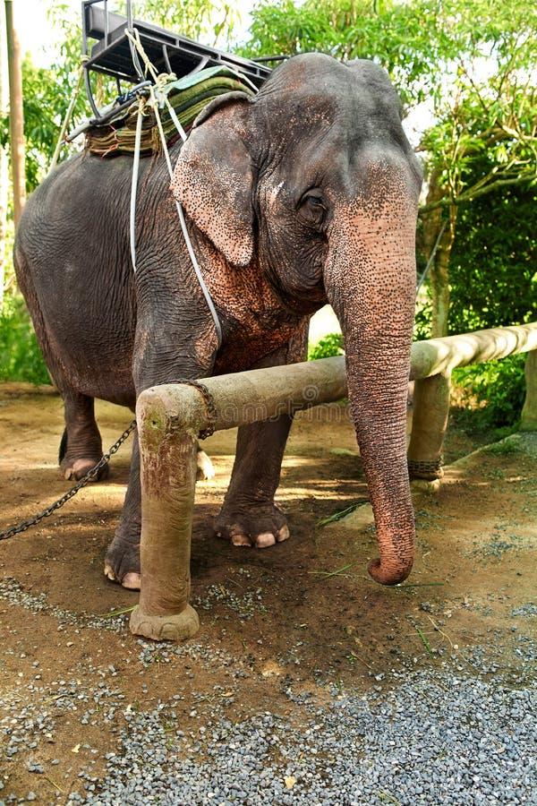 Download Zwierzęta W Tajlandia Tajlandzki Słoń Z Jeźdza Comberem Podróż Asja Zdjęcie Stock - Obraz złożonej z silny, egzot: 65226086