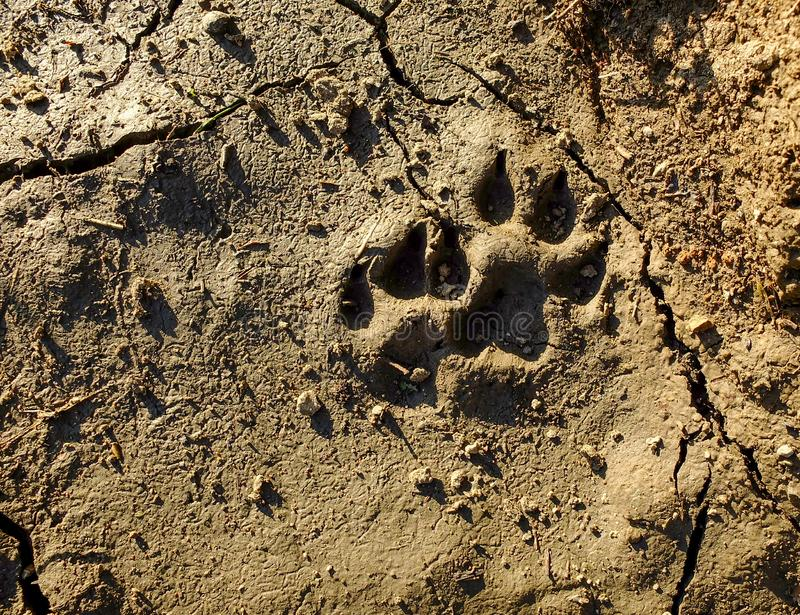 Zwierz?cy odcisk stopy Ślada zwierzęca łapa na krakingowej ziemi Ślad dzikie zwierzę na ziemi zdjęcia royalty free