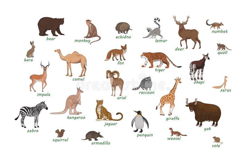 zwierz?ta ustawiaj?cy Armadyla echidna impala numbat okapi wielbłądziego jeleniego quoll nornicy łasicy xerus lemura zebry szopow ilustracji