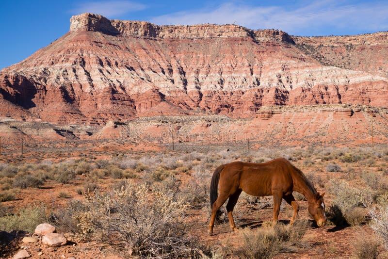 Zwierze Domowy bydlęcia koń Pasa Pustynnego Południowo-zachodni jar obraz stock