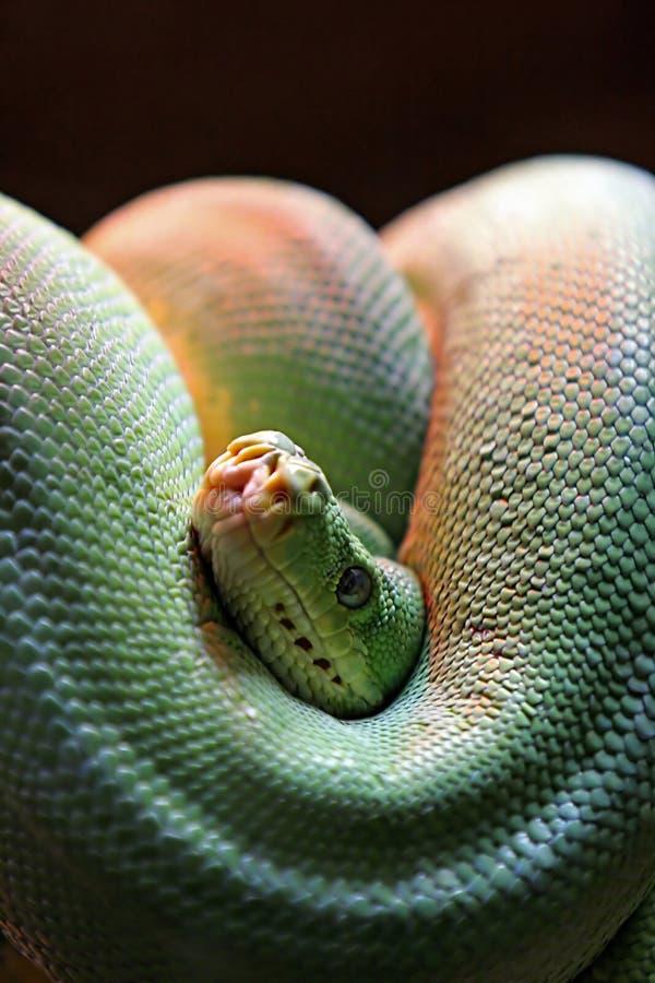 Download Zwinięta Ogniska Jadowity Wąż Zielone Głowy Obraz Stock - Obraz złożonej z gładki, skala: 125479