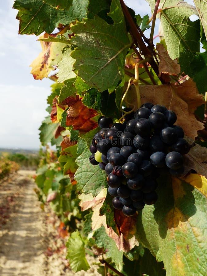 Zwischen vneyards rioja, Spanien, Europa stockfotos