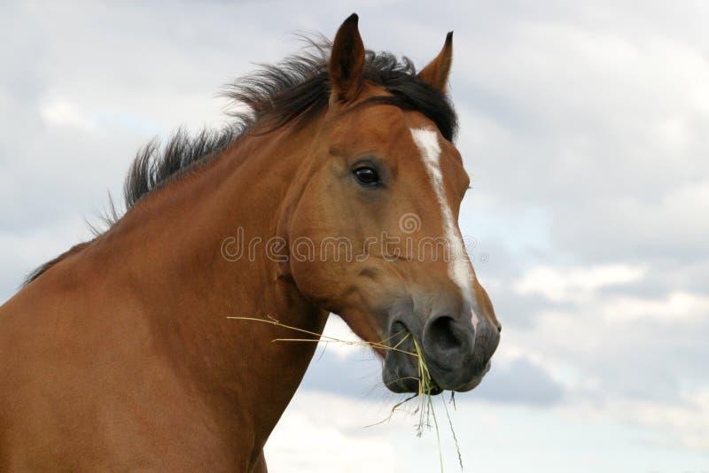 Zwitsers paard stock afbeelding