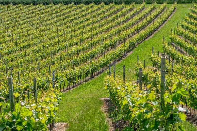 Zwitserse wijngaard in Vullierens stock foto's