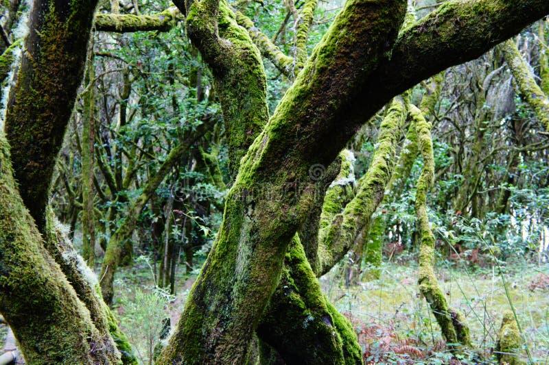 Zwodniczy mistyczny las w losu angeles Gomera wyspie zdjęcie royalty free