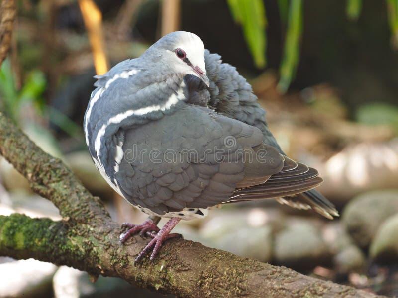 Zwracać się Wonga gołębia Preening Swój upierzenie obrazy stock