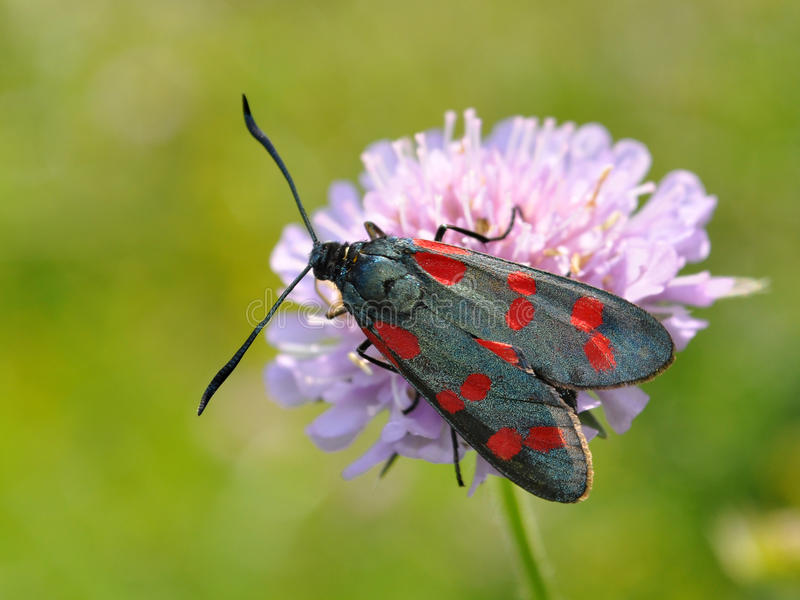 Zygaena photos stock