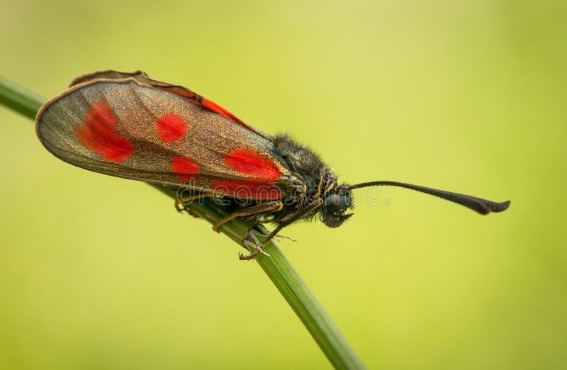 Zygaenaloti, Slanke Schotse burnet, zwarte rode mottenvlinder in Tsjechische Republiek stock afbeelding