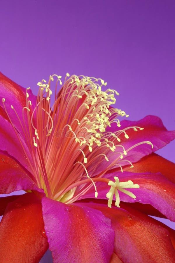 Download Zygo kaktus kwiat zdjęcie stock. Obraz złożonej z purpury - 132668
