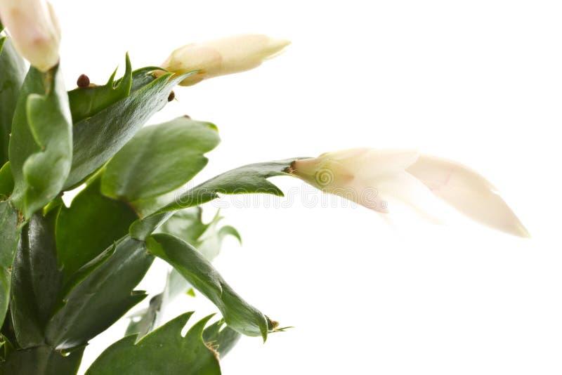 Zygocactus truncatus lizenzfreie stockbilder