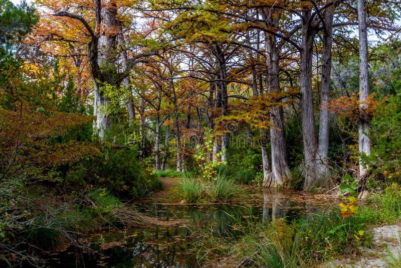 Zypern-Bäume auf Hamilton-Nebenfluss stockfoto