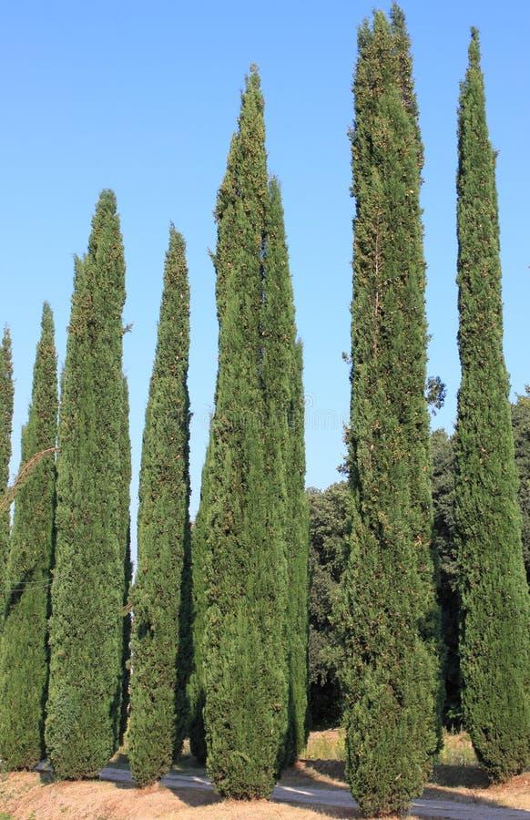 Zypresse-Bäume lizenzfreies stockfoto