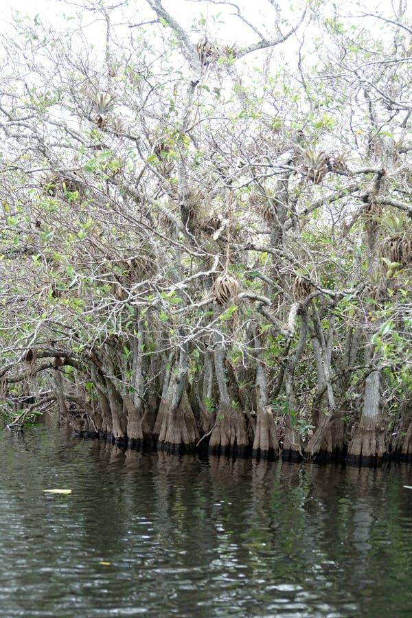 Zypresse-Bäume auf im Everglades-Nationalpark stockfotografie