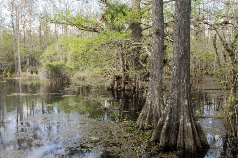 Zypresse-Bäume auf Sumpf an Slough-Konserve stockbild