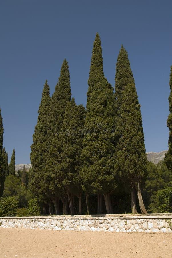 Zypresse-Bäume in einer Reihe lizenzfreies stockfoto
