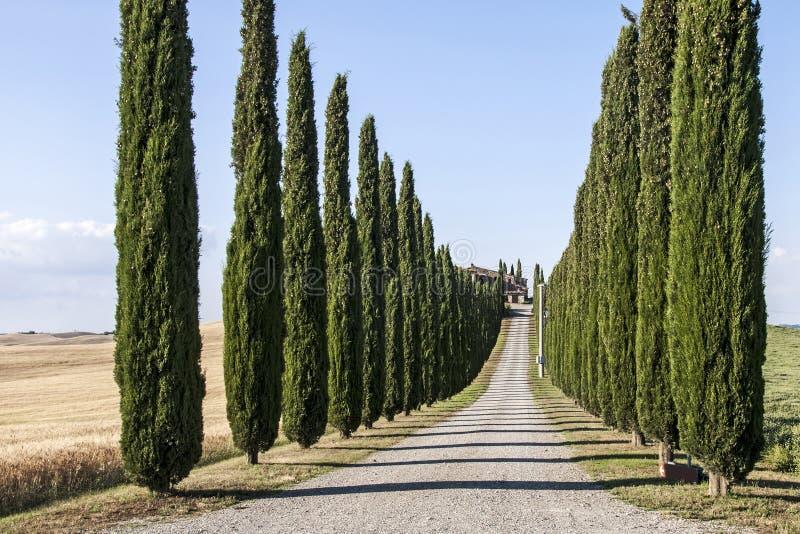 Zypresse-Bäume in Toskana-Landschaft stockbild