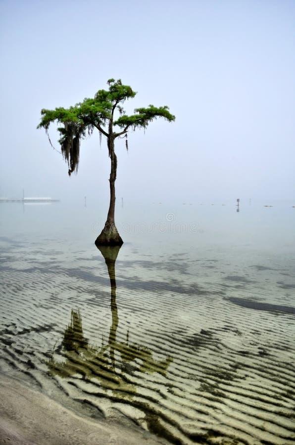 Zypresse-Baum auf nebeligem Tagesporträt stockfotografie
