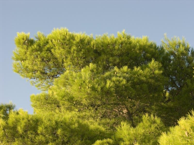 Zypresse-Baum, der auf dem Ufer des adriatischen Meeres wächst stockbild