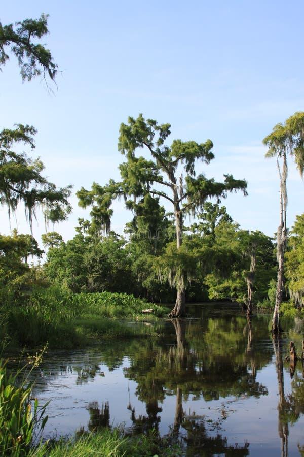 Zypresse-Baum im Sumpf lizenzfreies stockfoto