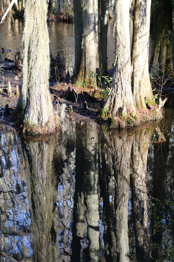Zypresse-Baum-Reflexion auf Schwarzwasser stockfotos