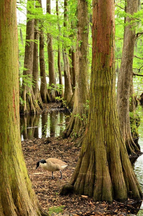 Zypresse-Baum-Stämme und Kanada-Gans stockfotografie
