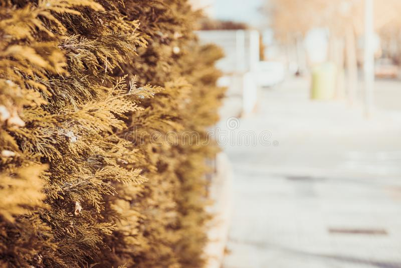 Zypresse-Baumhintergrundwand Trockene Blätter des Herbstes stockfoto