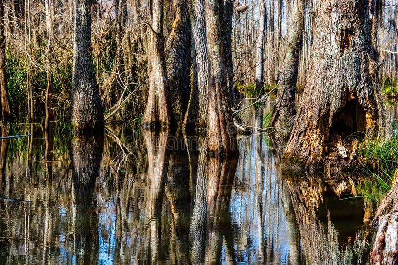 Zypresse-Baumst?mme reflektiert im Sumpfwasser lizenzfreies stockfoto