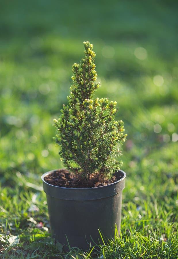 zypresse Kiefer in einem Topf auf dem grünen Gras lizenzfreie stockfotos