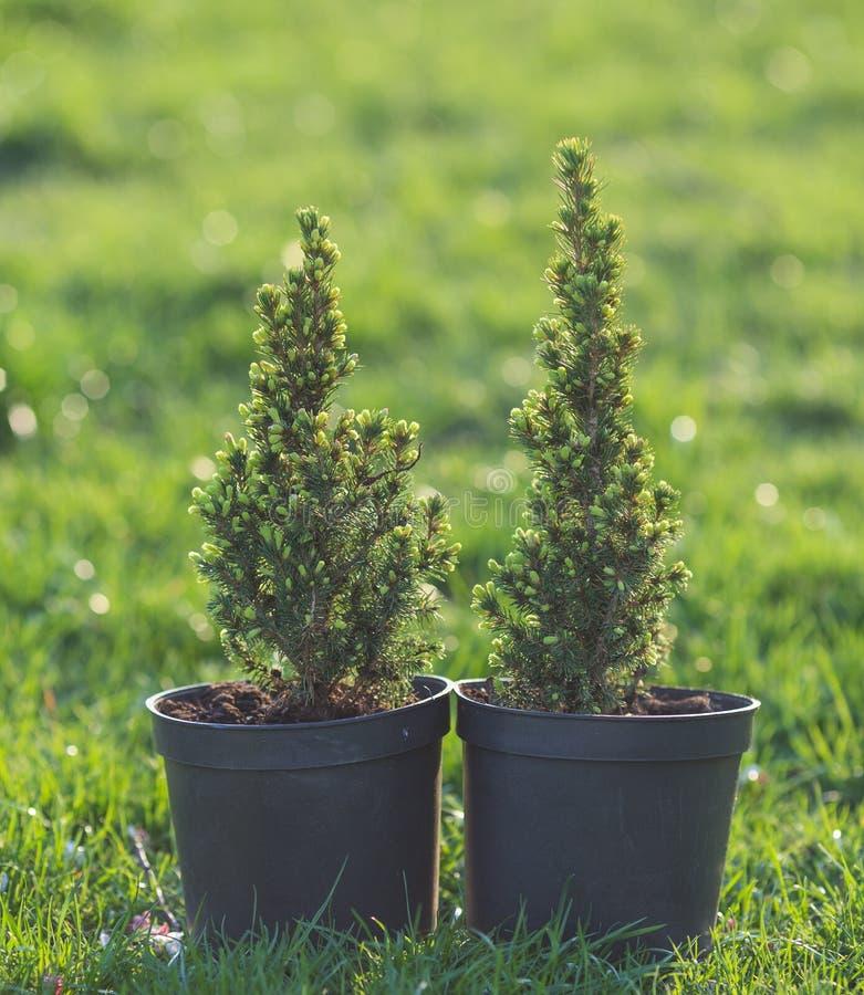 zypresse Kiefer in einem Topf auf dem grünen Gras stockfotografie