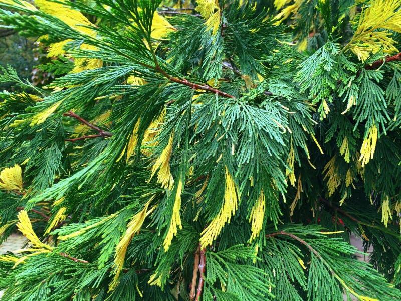 Zypresse mit den grünen und gelben Nadeln stockfotos