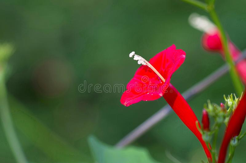 Zypresse-Rebblüte, Rot, Ipomoea quamoclit oder Ganesh Vel stockfoto