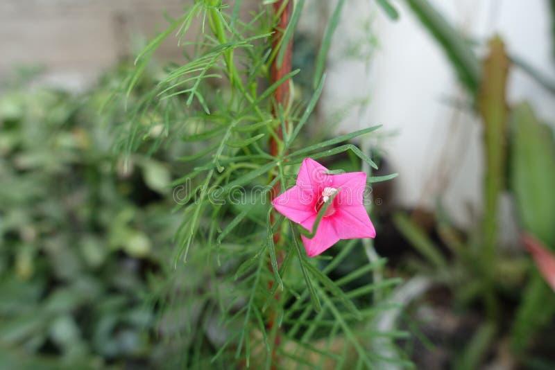 Zypresse-Rebe mit sternförmiger roter Blume stockfoto