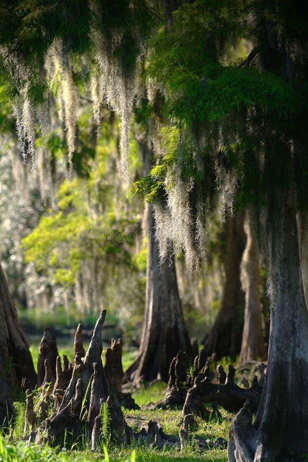 Zypresse-Sumpf stockbilder