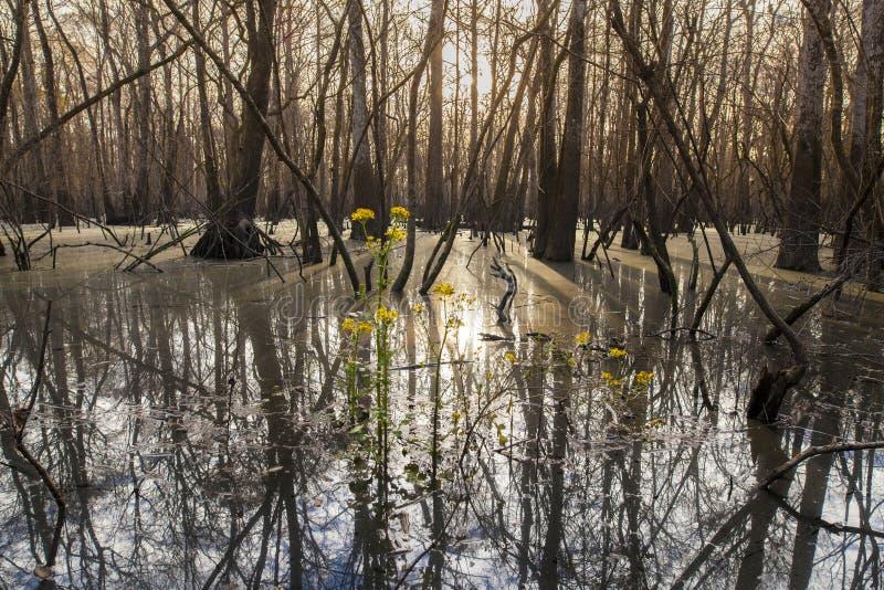 Zypresse-Sumpf bei Sonnenaufgang stockfotografie