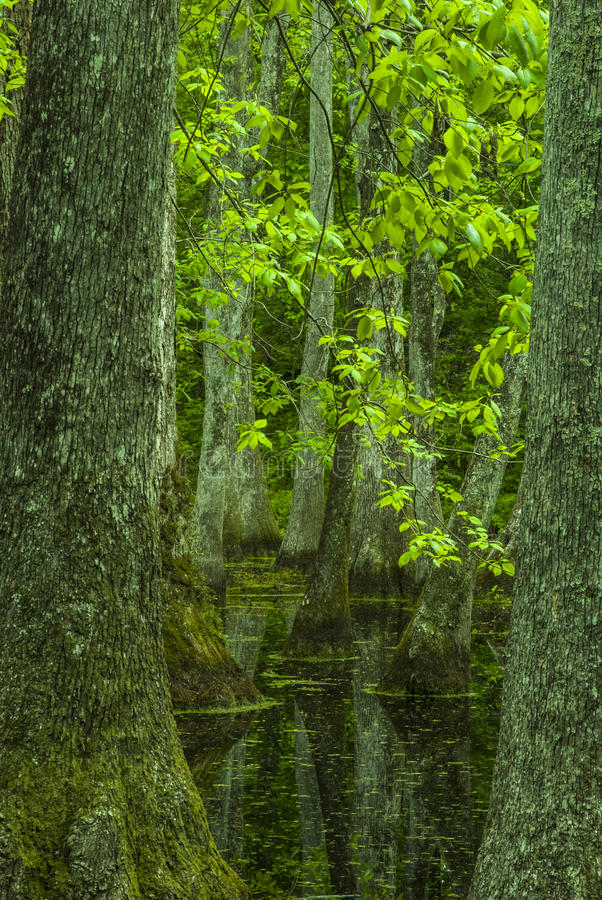 Zypresse-Sumpf, Natchez-Spur, Mitgliedstaat stockfoto