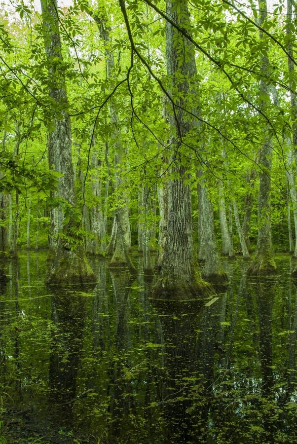 Zypresse-Sumpf, Natchez-Spur, Mitgliedstaat stockbilder