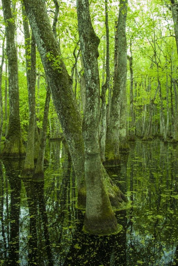 Zypresse-Sumpf, Natchez-Spur, Mitgliedstaat stockfotografie