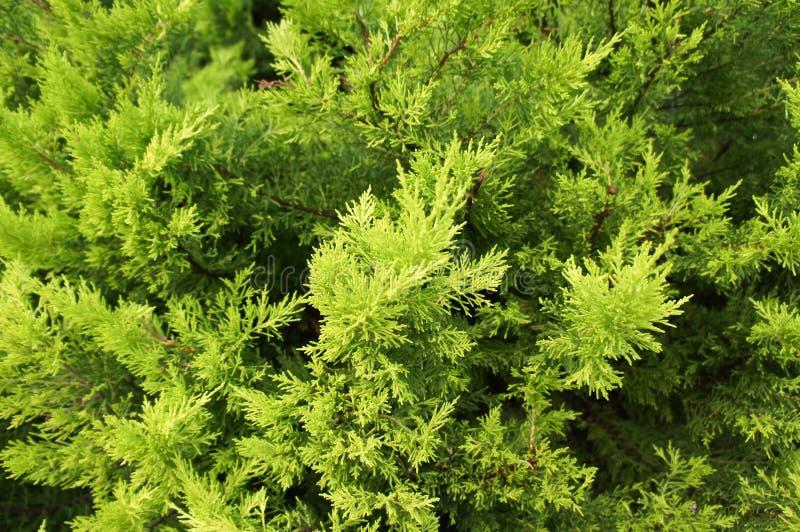 Zypresse verzweigt sich im Frühjahr lizenzfreie stockfotografie