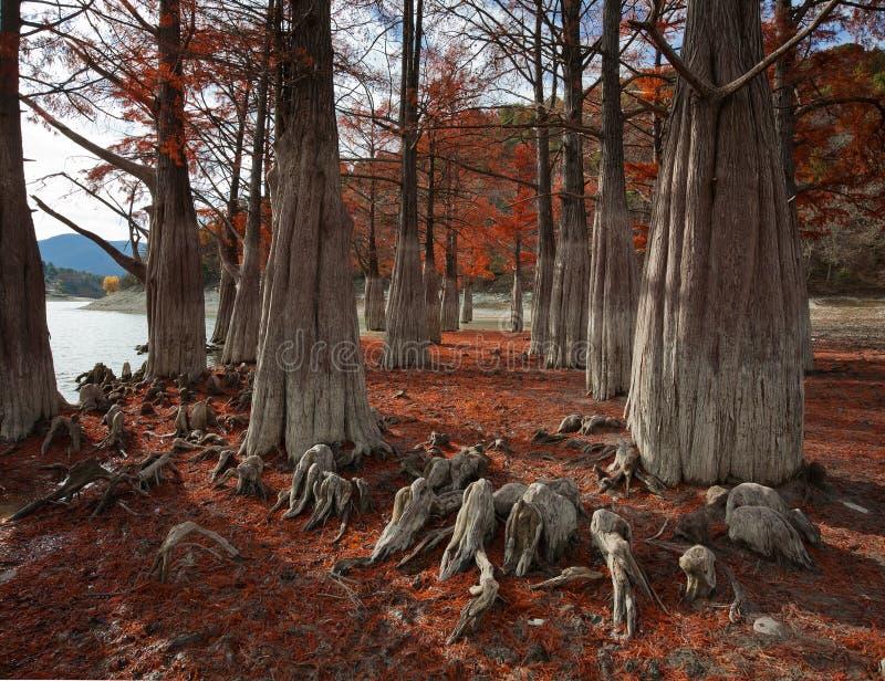 Zypresse-Waldung mitten in Herbst lizenzfreie stockbilder