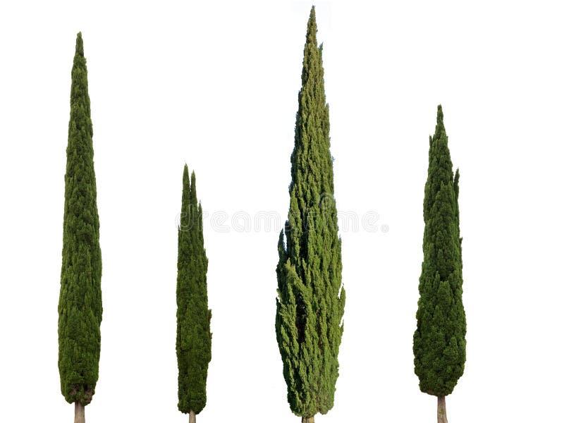 4 Zypressenbäume lokalisiert auf weißem Hintergrund stockfotografie