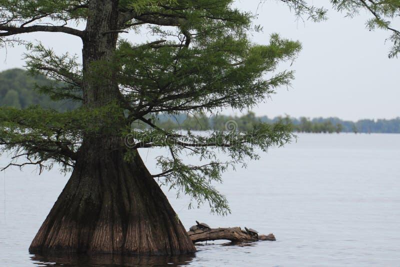 Zypressenbaum mit den Schildkröten, die auf dem Klotz sitzen stockbild
