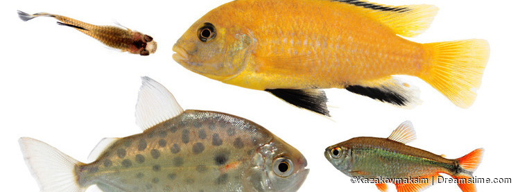 Different aquarium fishes isolated on white