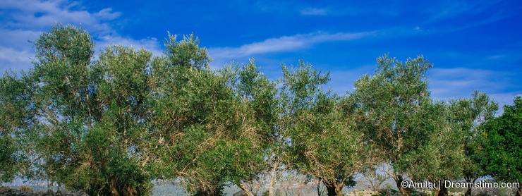 Holy Land Series -Old Olive Trees #2