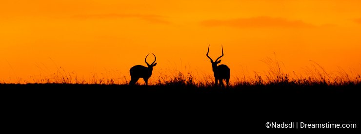 Impala sunset in the Masai Mara