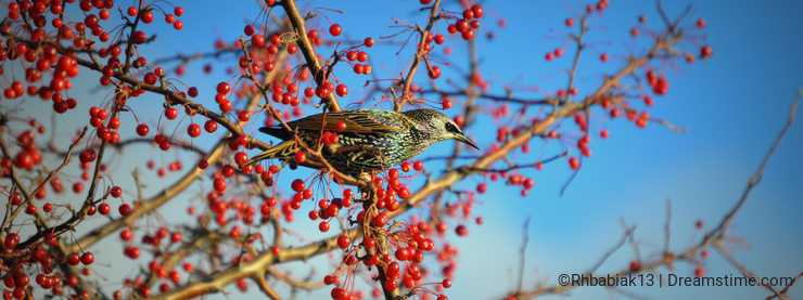 Pair of Starling Birds Surrounded by Red Berries