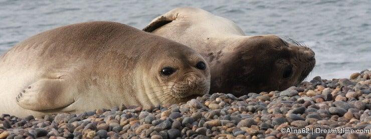 Elephant Seal females