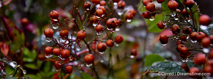 Raindrops on Red Berries
